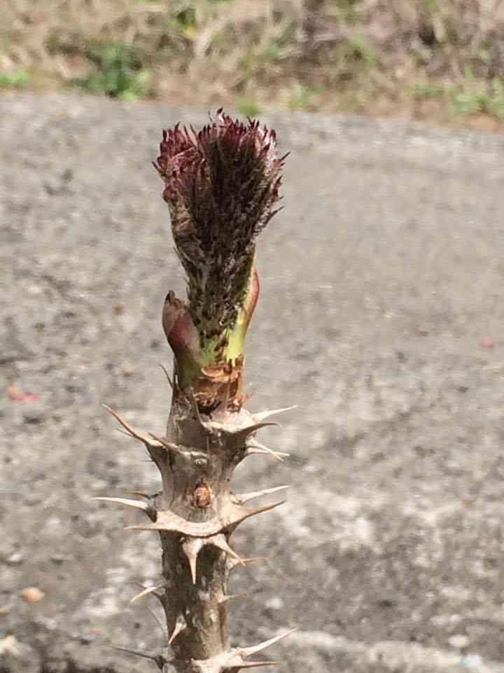 こちらはたらの芽。こちらも天ぷらでお出ししてます。 トゲが中々イテテ・・。