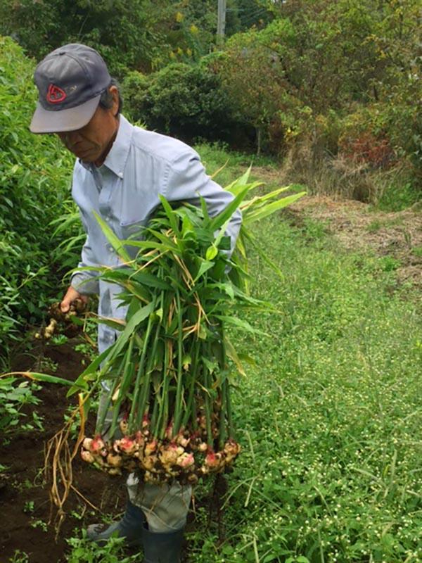 今日は生姜の収穫。
