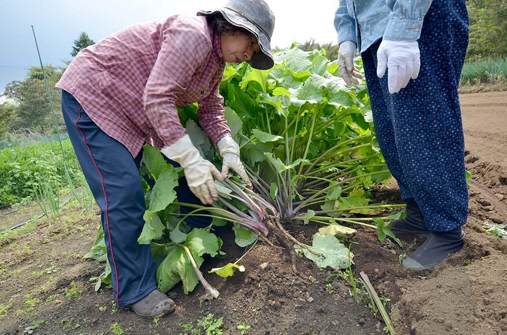 ゴボウの収穫です