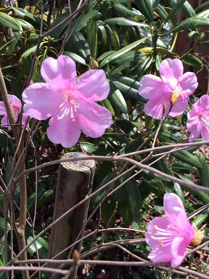 庭で一番人気のアカヤシオ